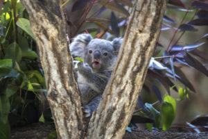 ケアンズでコアラ抱っこ